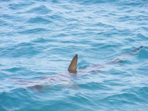 Ein schwimmender Hai